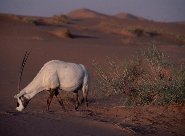 Arabian oryx (Oryx leucoryx). Vanished in the 1970s, the species has been reintroduced into Israel, Oman, Saudi Arabia, Bahrain, and Qatar. Photo by: Tim Wacher.