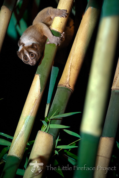 Javan slow loris. Photo courtesy of Little Fireface.