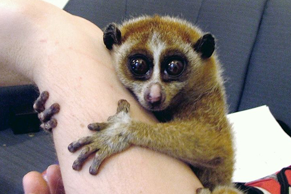 The loris pet trade is illegal, cruel, and results in high mortalities. A female Pygmy Slow Loris (Nycticebus pygmaeus). Photo by: Public Domain.