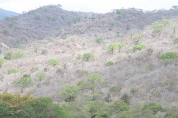 Dry forests along elevational gradients in western Ecuador such as the one shown here are hotspots of intraspecific variation  due to high ecological turnover. The number of threatened species along these gradients is also high due to land clearing. Photo by: Manuel Peralvo.