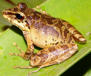 Areas in Ecuador with high intraspecific diversity in the zurucuchu robber frog (Pristimantis w-nigrum) and other common species also harbor high numbers of threatened species. Photo by: Charles Kieswetter.