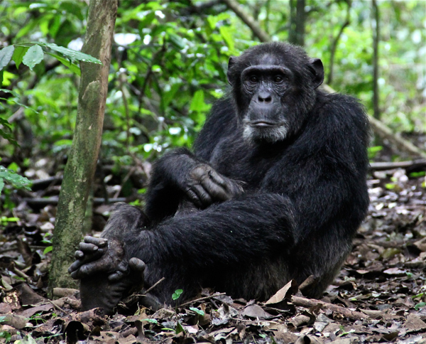 Kibale National Park is home to chimpanzees among thousands of other species. Photo courtesy of New Nature Foundation.