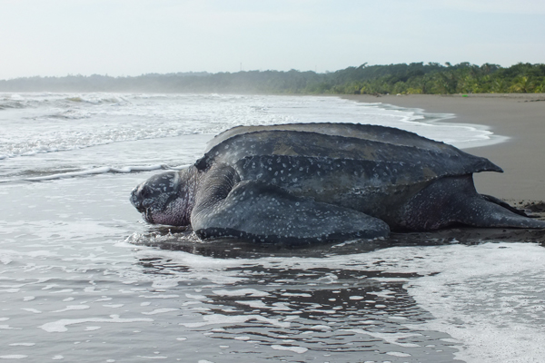 Leatherback sea turtle returning to the water after nesting on Moin beach. Photo by: Carlyn Samuel.