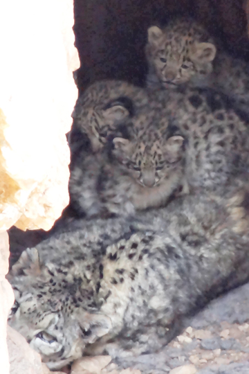 Rare image of female snow leopard with cubs. Photo by: Panthera/Shan Shui (E. Zhu).