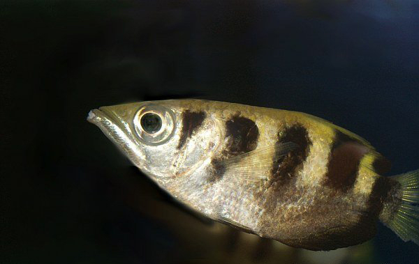 The sumpit-sumpit or spotted archerfish(Toxotes chatareus). Photo by: Przemysław Malkowski/Creative Commons 3.0.