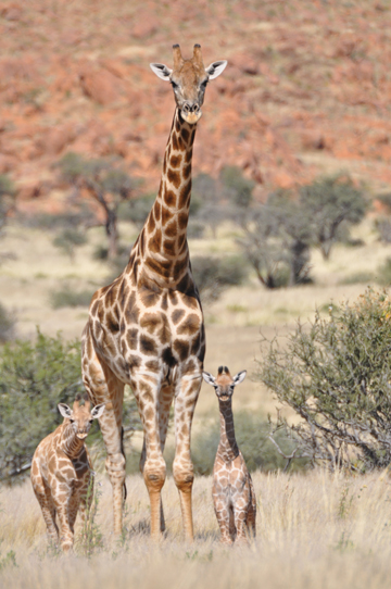 Jirafa ahumada macho y dos crías. Foto: Julian Fennessy.