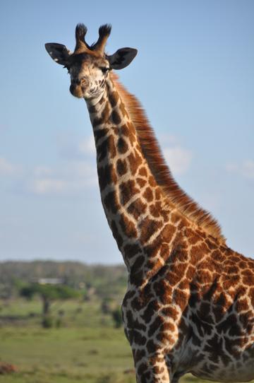 Jirafa masai joven en el Parque Nacional de Nairobi. Foto: Julian Fennessy.