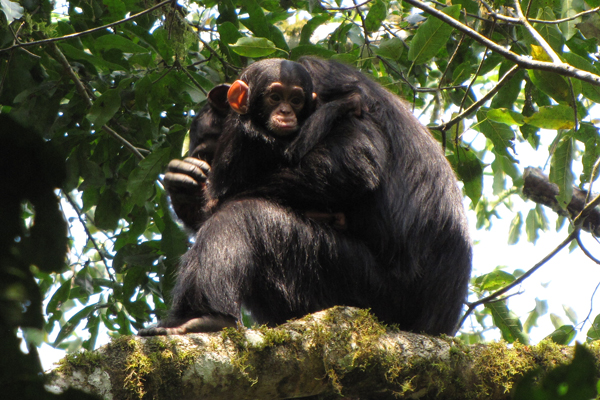Chimpanzees in Kibale National Park. Photo courtesy of Michelle Slavin.