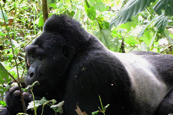 Silverback mountain gorilla in Bwindi Impenetrable National Park. Photo courtesy of Michelle Slavin.