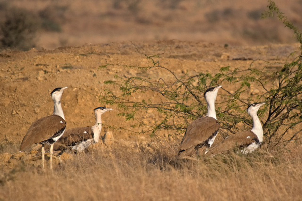 The arid plains of Western iIndia in the states of Rajasthan and Gujarat are the last stronghold of this species. Photo by: Arpit Deomurari/Conservation India.