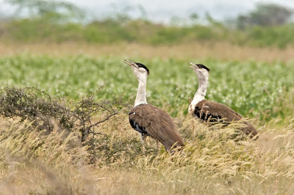 For more information on the Great Indian Bustard, visit Conservation India: http://www.conservationindia.org/campaigns/gib. Photo by: Ramki Sreenivasan/Conservation India.