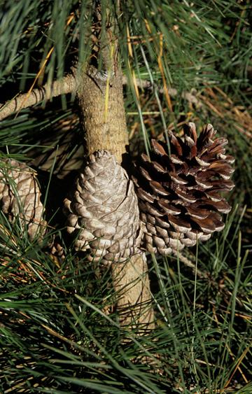 O pinheiro Monterey (Pinus radiata) está agora listado como