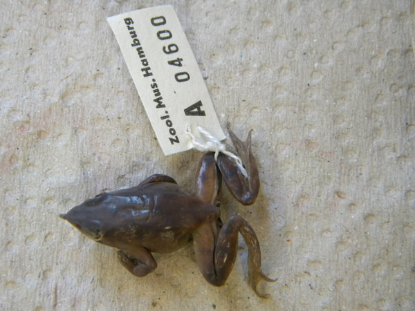 Ejemplar de la ranita chilena de Darwin (Rhinoderma rufum), una especie que en la actualidad puede estar extinguida. Foto: Claudio Soto Azat.