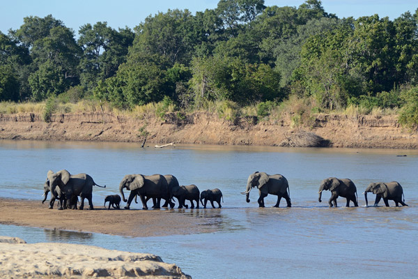 Bush elephants in South Luangwa National Park, Zambia.