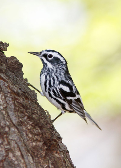 Black-and-white warbler. Photo by: Scott Whittle.