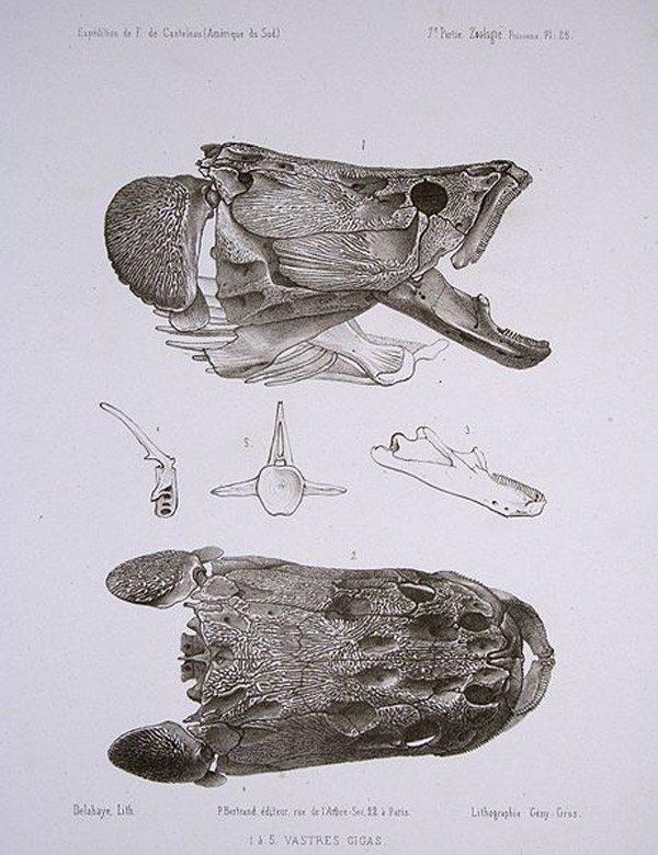 Illustrations of arapaima skulls from 1856. Illustration by: Francis de Laporte de Castelnau.