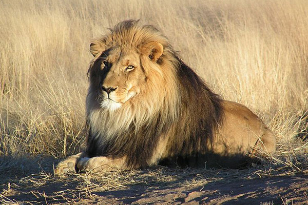 Scientists: lions need funding not fences