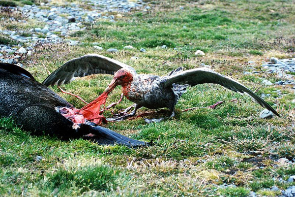 Land of the birds: a giant petrel feeds off the carcass of a seal in South Georgia. Photo by: Brocken Inaglory.