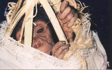 ブルンジで密輸業者から押収されたチンパンジー。全アフリカ保護施設連合(PASA)が運営するウガンダの保護施設、ヌガンバ島のチンパンジー・サンクチュアリ(CSWCT)に運ばれた。
