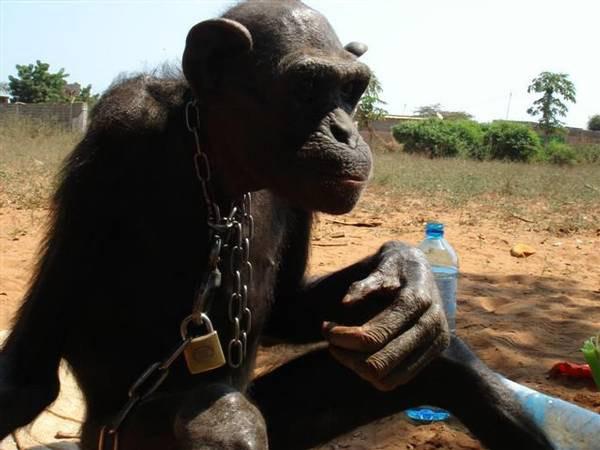 鎖につながれ衰弱したチンパンジー。アンゴラでジェーン・グドール研究所(JGI)チンパンジー・エデン(本部:南アフリカ)により救出された。この個体はその後完全に回復した。写真:JGI Chimp Eden/PASA