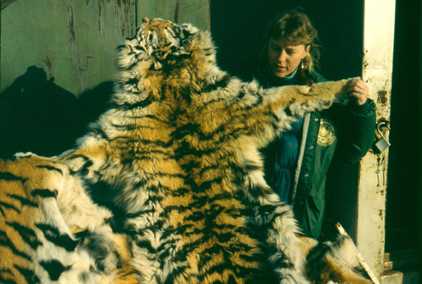 Dr. Linda Kerley examines confiscated Amur tiger skins in Primorye, Russia, in 1996. Photo by: (c) D. Miquelle, WCS Russia.