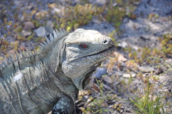 La Iguana Ricordi conocida por sus ojos de color negro y rojo. Foto por: Víctor Manzanillo.