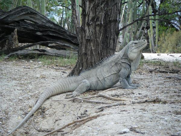 La Reserva Biológica Loma Charco Azul es la fortaleza más grande para la Iguana Ricordi. Foto por: Liz Paulino.