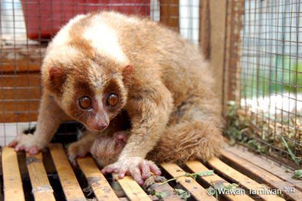 This Javan slow loris is already severely dehydrated, terrified, and shows injured hands and horrific fur condition. It is unlikely to make it to any YouTube video. Photo by: Wawan Tarniwan.