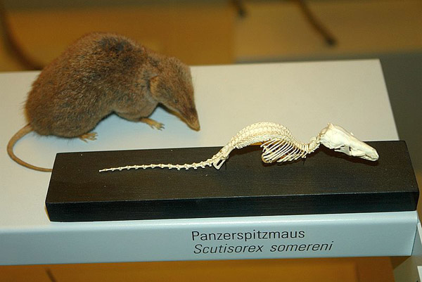 Espécimen de musaraña acorazada original (Scutisorex somereni). Foto por: Peter Spelt.