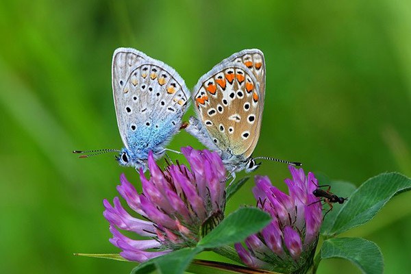 A new study finds that common blues and other butterflies are declining across Europe.