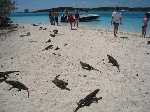 Tourists feed Endangered Allen Cays iguana (Cyclura cychlura inornata). Photo by: ©Shedd Aquarium/Chuck Knapp.