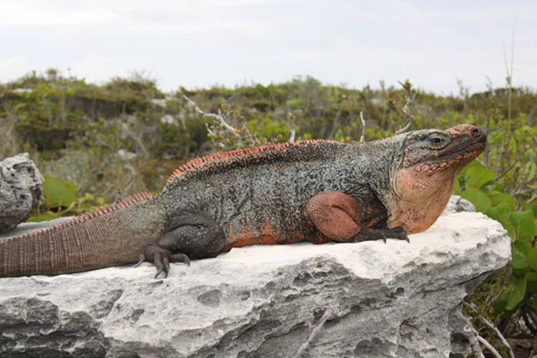 Found only on the Exuma Islands, the Cyclura cychlura figgensi subspecies is listed as Critically Endangered. Photo by: Chuck Knapp.