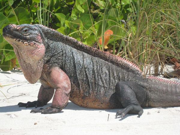 An Exuma rock iguana (Cyclura cychlura figgensi), considered Critically Endangered. Photo by: ©Shedd Aquarium/Chuck Knapp.