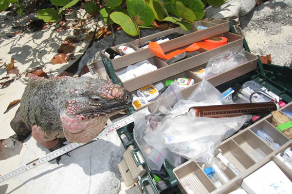 Iguana hanging out with scientific equipment. Photo by: ©Shedd Aquarium/Chuck Knapp.