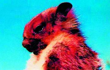 Retrato de la ardilla voladora Namdapha. Encontrada en India, esta especie está gravemente en peligro de extinción y no se la ha visto desde el año 2002. Foto por: Zoological Survey of India