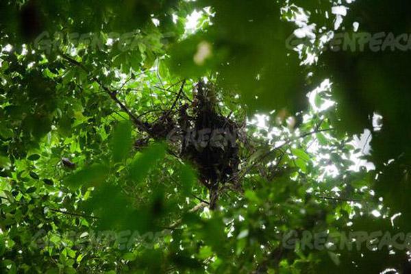 Image d'un nid construit par un chimpanzé dans la forêt Nguti, près de New Konye. Une récente étude sur le terrain effectuée par Greenpeace a également permis d'établir avec certitude l'existence de nids de chimpanzés, dont celui-ci, dans la future zone de plantation de Herakles Farms. Photo : © Greenpeace/Jan-Jospeh Stok.
