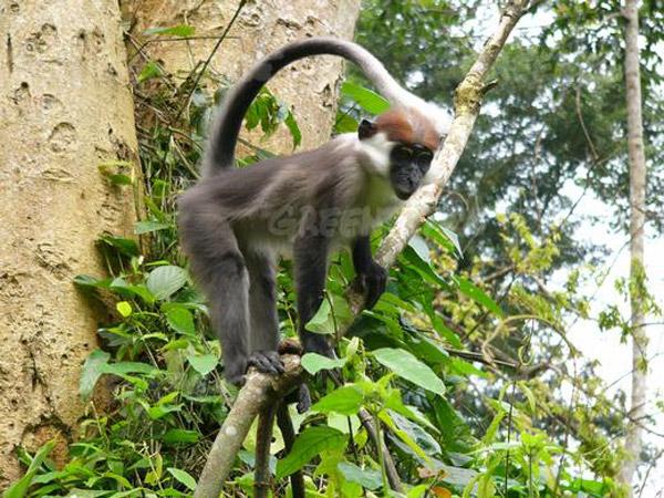 Singe Mangabey couronné dans la forêt, Parc National de Mefou, Cameroun.  Photo : © Greenpeace/Filip Vebelen.