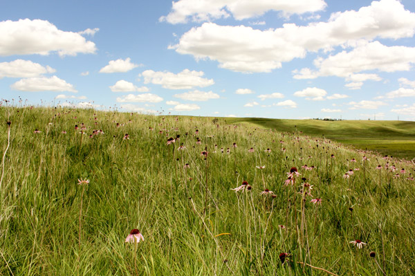 Hole-in-the-Mountain reserve has lost the Poweshiek. This is a nature reserve founded by the Nature Conservancy in southwest Minnesota. Photo by: Erik Runquist/Minnesota Zoo.