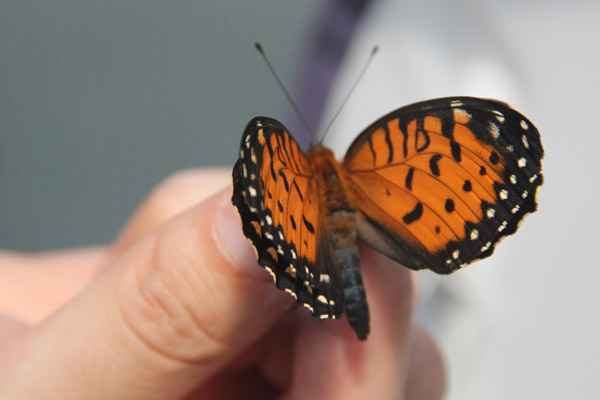 Erik Runquist holding a regal fritillary, another prairie butterfly in decline. Photo by: Jeremy Hance.
