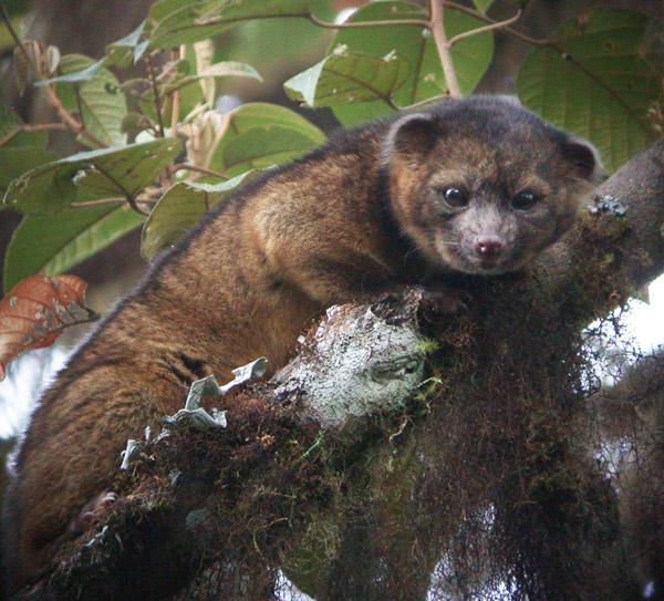 El olinguito en los bosques nubosos de Ecuador. Foto: Mark Gurney.