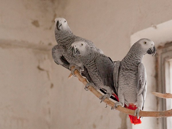 hree of the confiscated Grey Parrots at the Sofia Zoo, Bulgaria before their departure. Photo by: © Stefan Avramov.