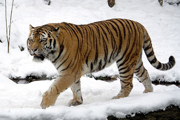 Amur tiger (Panthera tigris altaica) at the Leipzig Zoo. The Amur tiger, or Siberian tiger, is currently listed as Endangered by the IUCN Red List with around 450 individuals left in the wild. Photo by: Appaloosa.