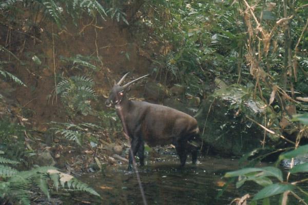 Una de las pocas fotos del saola en la naturaleza, en peligro crítico de extinción, tomada por una cámara trampa en 1999. Descrito por primera vez en 1992, el saola es uno de los únicos mamíferos terrestres de gran tamaño y nuevo para la ciencia de este último siglo; aún así, su futuro es bastante incierto. Foto por cortesía de William Robichaud.