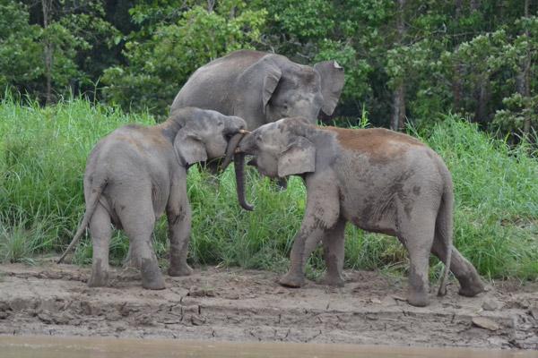 Elefantes de Borneo forcejeando en el Rio Kinabatangan. Photo courtesy of: Nurzahafarina Othman.
