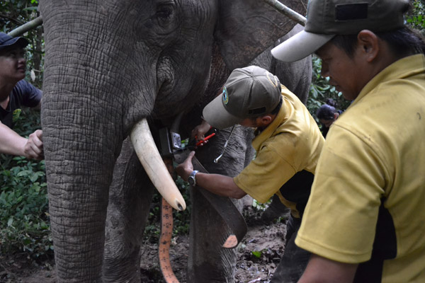 Poniéndole un collar para poder seguir a un elefante de Borneo. Photo courtesy of: Nurzahafarina Othman.