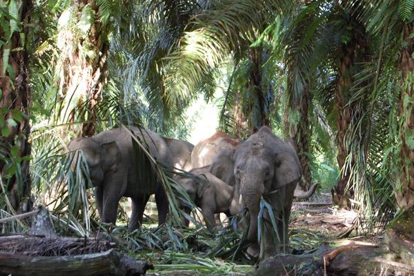 Elefantes de Borneo alimentándose en una plantación de palmeras de aceite. Photo courtesy of: Nurzahafarina Othman.