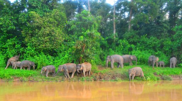Panorama de elefantes en el paisaje de Kinabatangan. Photo courtesy of: Nurzahafarina Othman.