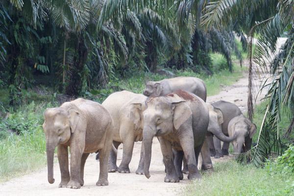 Siguiendo a una manada de elefantes en una plantación de palmas de aceite. Photo courtesy of: Nurzahafarina Othman.