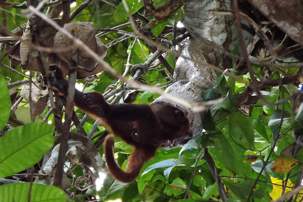 Otra visión de la boa constrictor devorando una hembra de mono aullador. Fotografía de Erika Patricia Quintino.