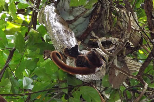 Boa constrictor devorando una hembra de mono aullador. Fotografía de Erika Patricia Quintino.